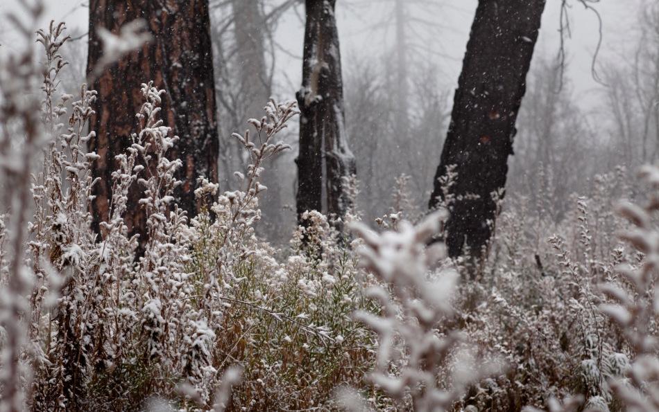 snowy undergrowth-1001